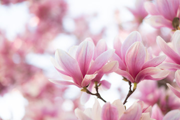 Close up of pastel colors magnolia flower. Springtime nature background