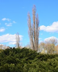 Drzewo-maczuga pionowo