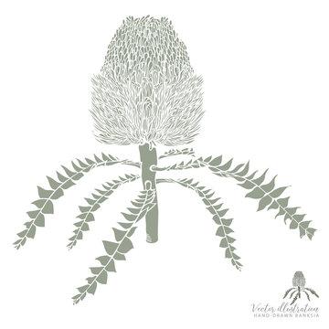 Hand-drawn Banksia Vector Illustraiton in Olive Green