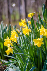 Fototapete - Yellow Narcissus - daffodil on a green background