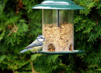 Blaumeise,Meise,Vogelfutter Fototapete