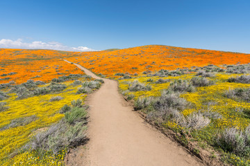 Colorful path through poppy wildflower super bloom field in Southern California.