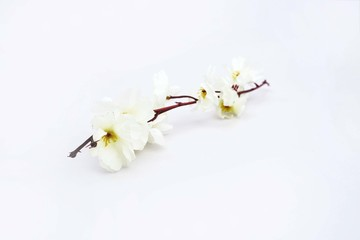 Picture of white flower. Isolated on the white background.