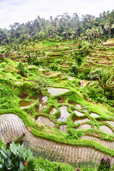 Rice plantations in Bali. View from above