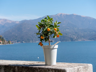 Image of little kumquat tree in a pot on a stone wall with lake in the background