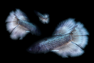 Betta fish with black and white dancing in the water background of a beautiful fighter fish with three types of fish together