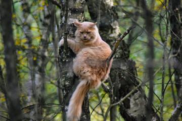 Fototapeta Dziki kot siedzący na drzewie w lesie. Bieszczady, Polska obraz