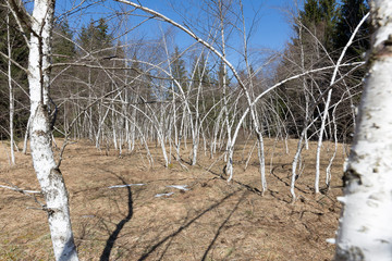 Kahle Birken im Frühling, gebogen