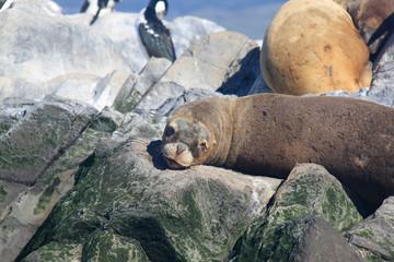 A southern sea lion (Otaria flavescens) lying on rocks, Tierra del Fuego, Argentina