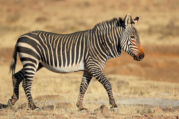 Foto auf Leinwand Zebra Cape mountain zebra (Equus zebra) in natural habitat, Mountain Zebra National Park, South Africa.