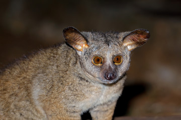 Portrait of a nocturnal greater galago or bushbaby (Otolemur crassicaudatus), South Africa.