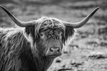 Acrylic Prints Highland Cow monochromes Portrait Kopf gehörntes schottisches Hochland Rind im Sonnenschein auf einer Weide in der Uckermark