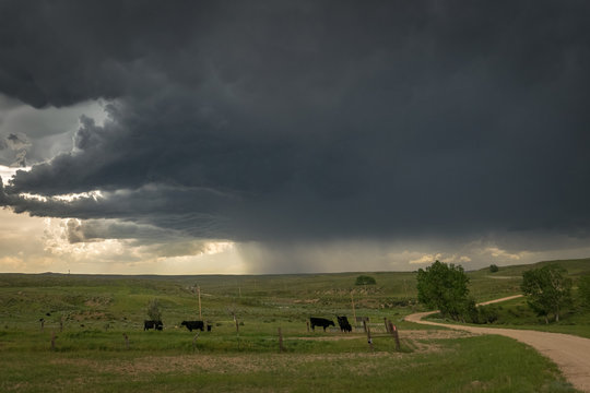 Cattle grazing on Wyoming plains under dramatic sky with thunderstorm approaching.