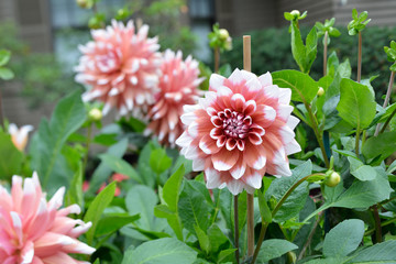 Spoed Fotobehang Dahlia Bicolor dahlias, pink salmon and white