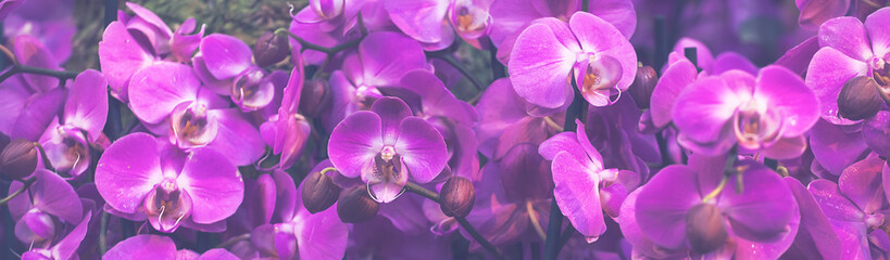 Beautiful Dendrobium pink Orchid.Flower Pattern and banner