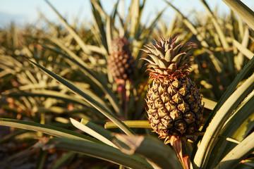 Tropical green bushy tree with ripening pineapples on plantation of El Hierro island Wall mural