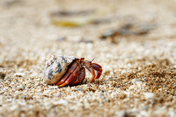 Close-up of a hermit crab (Coenobitidae) wearing a shell shell as shelter and running on the sand of the beach, narrow focus area with blur background - Location: Caribbean, Guadeloupe