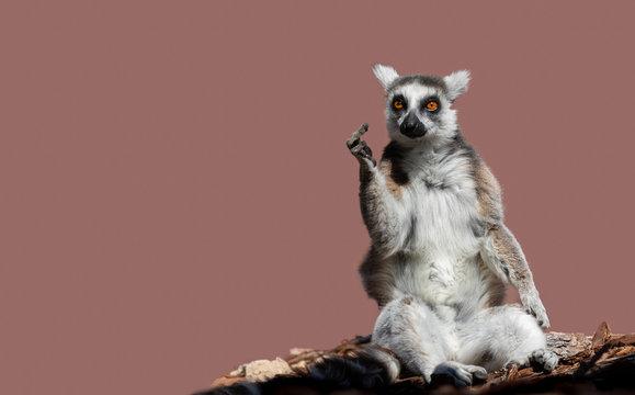 Eine eindeutige Geste zeigt ein Lemur, ein Affe aus Madagaskar.