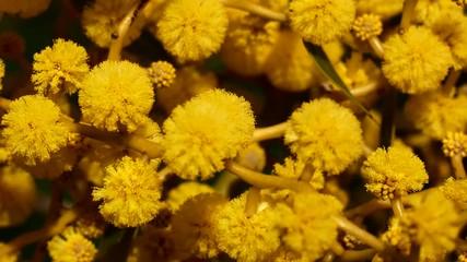 Search Photos Acacia Flower