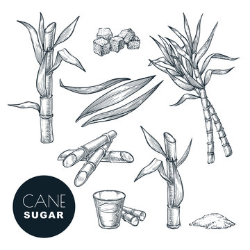 Sugar cane plant and leaves sketch vector illustration. Natural organic sweetener. Hand drawn isolated design elements