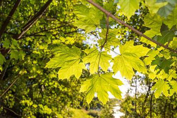 Sonnenstrahlen scheinen durch Ahornblätter im Sommer