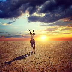 Climate Change and Global warming concept. Lonely antelope in dry country with cracked soil under dramatic evening sunset sky.