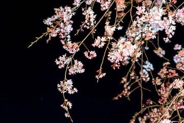 三嶋大社 夜桜 枝垂れ桜 Mishima Taisha Night cherry blossom