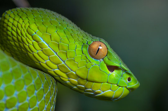 Trimeresurus vogeli female