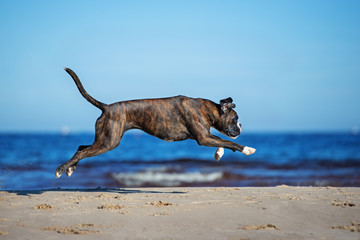 german boxer dog jumping on the beach