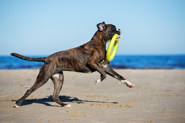 german boxer dog playing on the beach