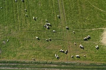 Grünes Feld mit Schafen aus der Luft Luftbildaufnahme