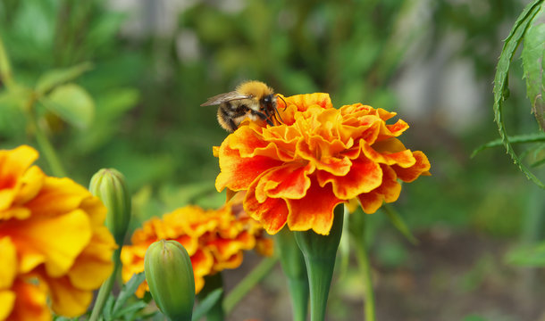 bee collects nectar from a yellow orange carnation marygold tagrtes closeup photo