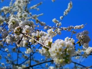 Papiers peints Fleur de cerisier Fleur de cerisier