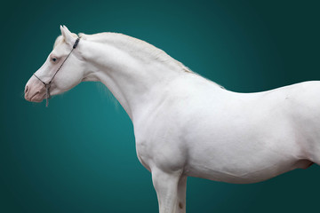 Portrait of a stallion of breed the Welsh pony of pure white color on a green background. Isolated