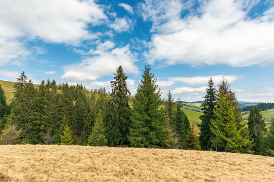 wonderful countryside in springtime. row of spruce trees on a hill. meadow with weathered grass. sunny weather with fluffy clouds on the sky