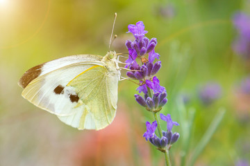 White butterfly on a flower on a sunny day. Butterfly on a lavender flower