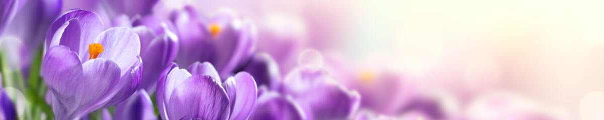 Poster Krokussen Blooming Cluster Of Purple Crocuses With Sunlight - Springtime Web Header Background Banner
