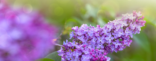 Foto auf Leinwand Flieder Branch of blossoming lilac isolated on green.