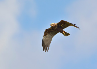 Marsh Harrier (Circus aeroginosus), Crete - Buy this stock photo and