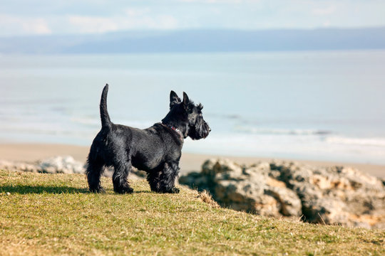 Scottish Dog Looking over Cliff