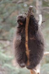Buck Tooth Porcupine Sleeping in Tree