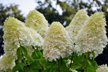 Luxurious hydrangea paniculata in the garden close-up.