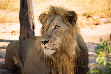 Retrato de leão macho descansando na savana