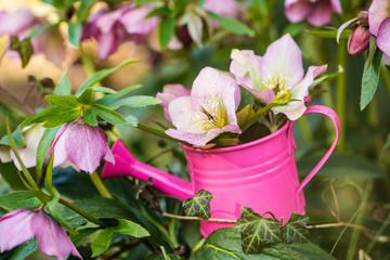 Helleborus flowers in a pink watering can