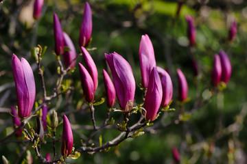 Branch of siebolds magnolia tree in the spring garden