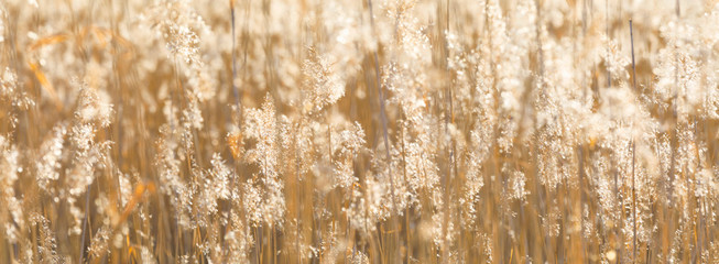 Closeup of sunny backlit hay panoramic background