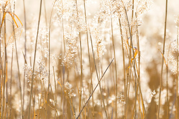 Closeup of sunny backlit reed background