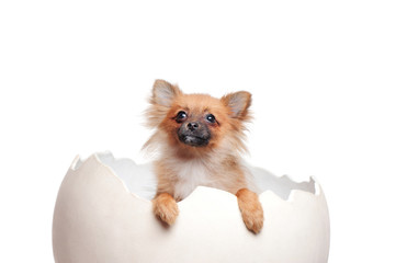 Closeup picture of a spitz puppy in the giant egg shell looking up
