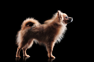 Side view silhouette of a spitz in a black background