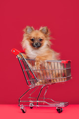 Spitz puppy sitting in the shopping trolley against red background